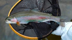 Central Valley Rivers Trout