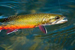 Yosemite Dana Fork Trout
