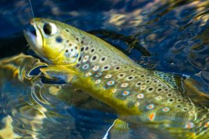 Yosemite Tuolumne River Trout